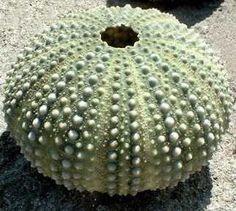 Ricci di mare - Echinoidea - Echinodermata - Chi è e come vive il riccio di mare