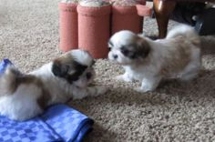 Cute AKC Shih Tzu puppies ready for Christmas