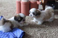 Cute AKC Shih Tzu puppies ready for Christmas