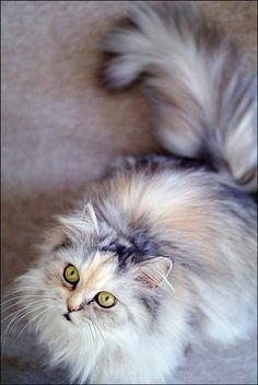 torbie maine coon gorgeous colour    Oh, I've always wanted a Maine Coon Cat!