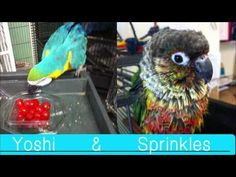 Meet the rescued parrots of Sy's Piece of Heaven.   http://syspieceofheaven.org