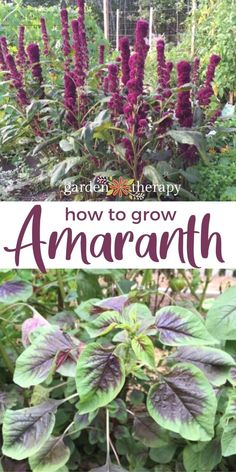 This superfood plant produces leafy greens that can be used like spinach as well as seed that can be popped like popcorn, ground into flour, or cooked like rice. #gardentherapy #amaranth #superfood #leafygreens