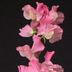 Sweet Pea Pink Nines Kings Seed Range - Irish Plants Direct
