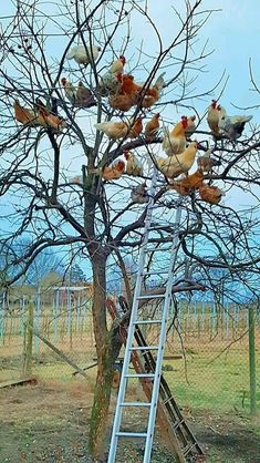 Chickens like being in trees. They used to be forest dwellers. They also enjoy digging in a big pile of leaves. Farm Animals, Animals And Pets, Funny Animals, Cute Animals, Keeping Chickens, Raising Chickens, Chickens And Roosters, Chicken Breeds, Chickens Backyard