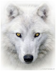 White wolf : The wolf offers some of the most striking animal meanings in the realm of spirit animals. The power of the wolf brings forth instinct, intelligence, appetite for freedom, and awareness of the importance of social connections. This animal can also symbolize fear of being threatened and lack of trust. When the wolf shows up in your life, pay attention to what your intuition is telling you.