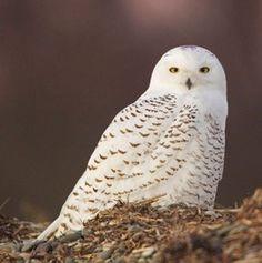 snowy owl #owl #snowyowl