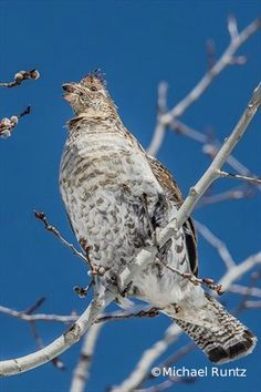 To see this bird look up or down Michael Runtz tells us where to find #partridges  #Ruffed Grouse can be currently seen up high in Trembling Aspens devouring their flower buds.