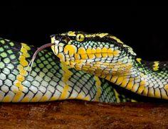 Wagler's #Viper #snake #reptile