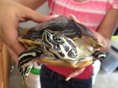 Muddles is an adoptable Painted Turtle in Windermere, FL. Muddles is actually a river cooter we believe. Hes very laid back and loves to eat. He needs a nice sized aquarium or pond as hes about 8 inch...