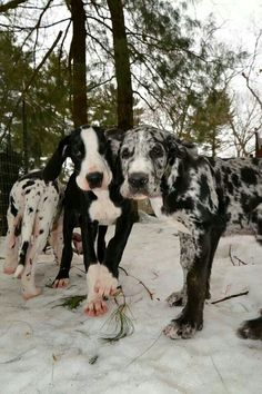 Great Dane Puppies being trained as Balance Assistance Service Dogs at the Service Dog Project. Big Dogs, I Love Dogs, Cute Dogs, Adorable Puppies, Beautiful Dogs, Animals Beautiful, Australian Shepherd Husky, Cavalier King Charles Spaniel, Dane Puppies