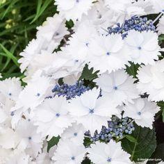 Hortensia - Hydrangea macrophylla Koria