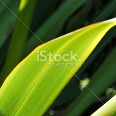 Sunlit Harakeke Leaves (NZ Flax) Royalty Free Stock Photo Abstract Photos, Embedded Image Permalink, Image Now, New Zealand, Royalty Free Stock Photos, Wellness, Leaves, Photography, Profile