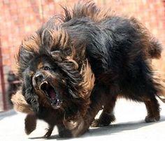 Tibetan Mastiff #dog #mastiff #animal