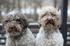 Sisu & Eero  lagotto romagnolo March 2017