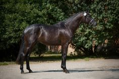 information on Basir (Trakehner, 2013, of Schwarzgold) | rider Wenke Tewes | ratings, pedigree, pictures at a glance