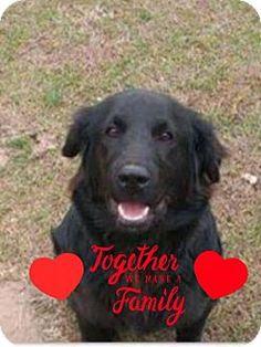 2/1/17 Manhattan, NY - Newfoundland/Labrador Retriever Mix. Meet Bear, a puppy for adoption. http://www.adoptapet.com/pet/17503906-manhattan-new-york-newfoundland-mix
