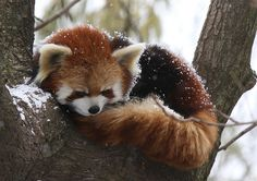 Red Panda sleeping in his nook, covered with snow