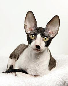 A directory of Cornish Rex Cat Breeders. Cornish Rex Kittens sometimes available for sale. Cornish Rex photos and information I Love Cats, Crazy Cats, Cool Cats, Devon Rex, Cane Corso, Pretty Cats, Beautiful Cats, Chat Rex, Chinchilla