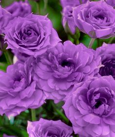 Mini Twilight Skies Rose. I want these for my new rose garden.