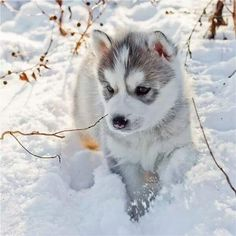 Husky puppy from Twitter