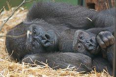 Hoe slapen apen? Ontdek het op 21 oktober in de Apenheul >>