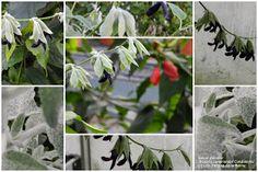 Sauge cassis Salvia discolor -  Les Jardins Botaniques de la Boirie