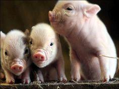 i want a pig!!