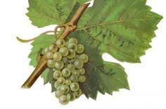 Ladies and Gentlemen, here is Riesling - Wine - World Wine Passion