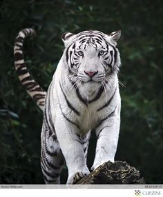Tigers and White Tigers