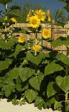 Multi head sunflower