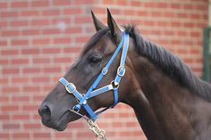Undefeated mare black caviar 22 straight wins so far American Pharoah, All About Horses, Racehorse, Thoroughbred, Courses, Horse Racing, Caviar, Animals And Pets, Australia