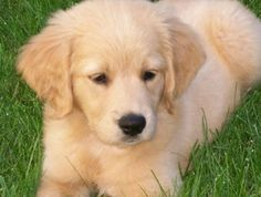 wavy miniture goldendoodle | The size of the GoldenDoodle again is dependent on the size of the ...