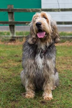 The otterhound's story began in medieval England, where fishermen had to compete with river otters for their catch. So the otterhound was developed to keep the competitors at bay. Rare Dogs, Rare Dog Breeds, Akc Breeds, Best Dog Breeds, Small Dog Breeds, Small Dogs, Best Dogs, Griffon Nivernais, Otterhound