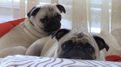 You can have two pugs!!!  ;)