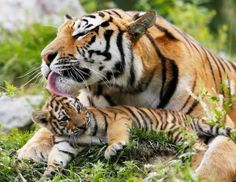Tigers cannot purr. To show happiness, tigers squint or close their eyes. This is because losing vision lowers defense, so tigers only purposefully do so when they feel comfortable and safe.
