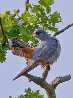 emuwren:    The Red-footed falcon - Falco vespertinus, breeds in open lowlands with trees and plenty of insects in eastern Europe and central Asia.  Photo by Bernhard Herzog.
