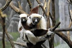 A Coquerel's sifaka, born spring 2012, clings to its mother's back as she perches on a branch in the Madagascar! exhibit at the Wildlife Conservation Society's Bronx Zoo.