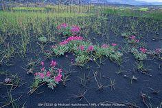 Epilobium latifolium, Iceland