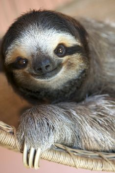 This sloth is smiling!