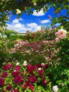 David Austin Roses (Wolverhampton, England): Hours, Address, Garden Reviews - TripAdvisor