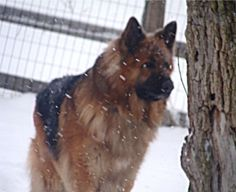 156 pounds of German Shepherd in the snow!  Gorgeous!