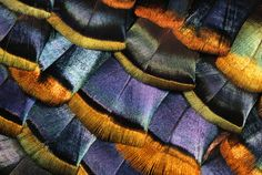 Iridescent feathers of purple, gold, violet, yellow, green, orange and black. A veritable rainbow.