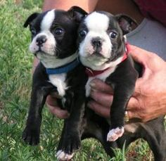 Boston Terrier Puppies Here is why I PawSitively love Boston Terrier