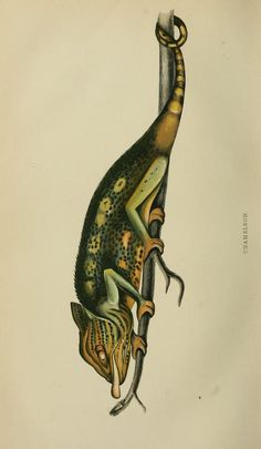 Chameleon,  (1867) - The Intellectual observer. - Biodiversity Heritage Library