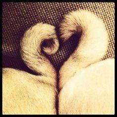 Cute pug tails!!!! <3 Awwwwwwww!!!