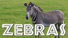 (209) zebra - YouTube Large Animals, Zoo Animals, Wild Animals, Music For Kids, Kids Songs, Preschool Jungle, Preschool Ideas, Animals Information, My Father's World