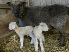 solitude wool- newborn lambs