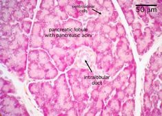 Histology - Pancreas - Pancreas (labels) - histology slide