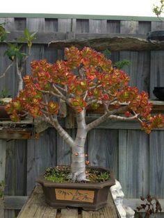 Jade Bonsai, Bonsai Plants, Bonsai Trees, Planting Succulents, Succulent Plants, Bonsai Forest, Lucky Plant, Crassula Ovata, Jade Plants