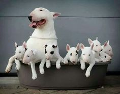 Mother BULL TERRIER AND ALL HER PUPPIES----